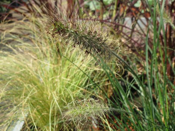 Okrasné traviny.