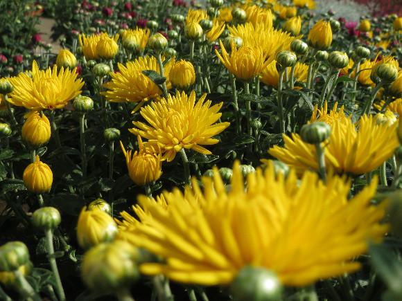 Chryzantémy.