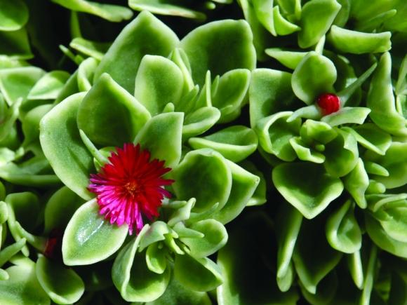 Aptenia cordifolia.