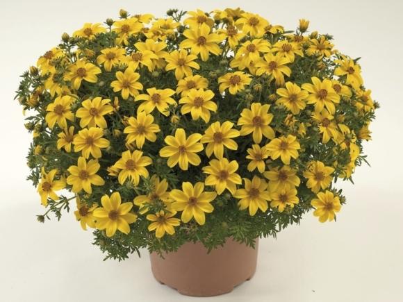 Bidens ferulifolium - Balkónové zlato (trojzubec).