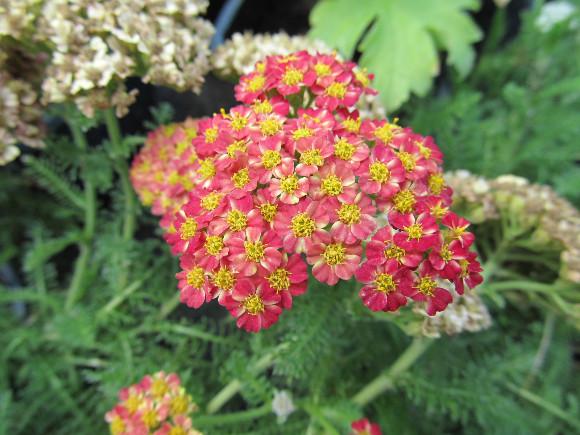 Achillea millefolium Desert Eve Red  - řebříček.