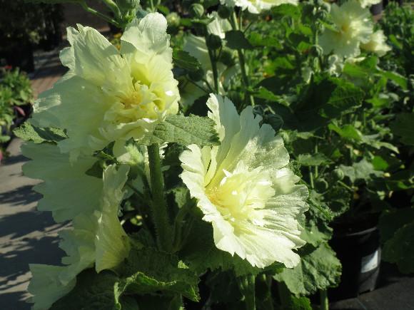 Alcea rosea Spring Celebrities Lemon – slézová růže.