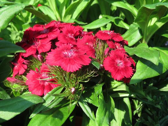 Dianthus barbatus Barbarini F1 Red – karafiát