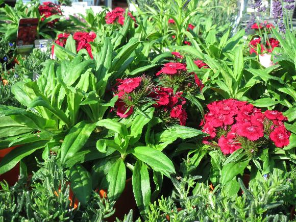 Dianthus barbatus Barbarini F1 Red – karafiát.