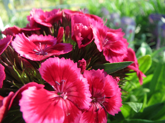 Dianthus barbatus Barbarini F1 Red Rose Bicolor – karafiát.