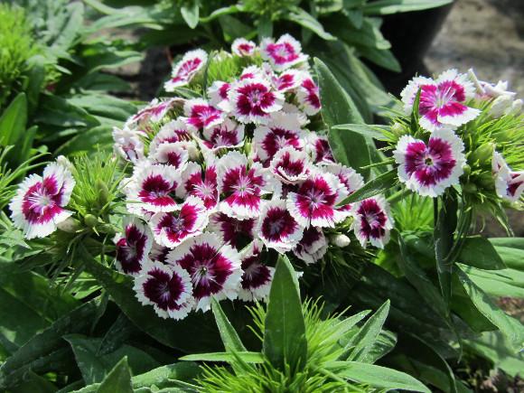 Dianthus barbatus Barbarini F1 Purple Picotee – karafiát