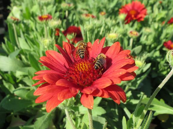 Gaillardia aristata Arizona  Red Shades - kokarda.