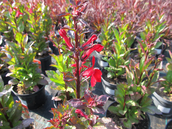 Lobelia speciosa F1 Scarlet – lobelka