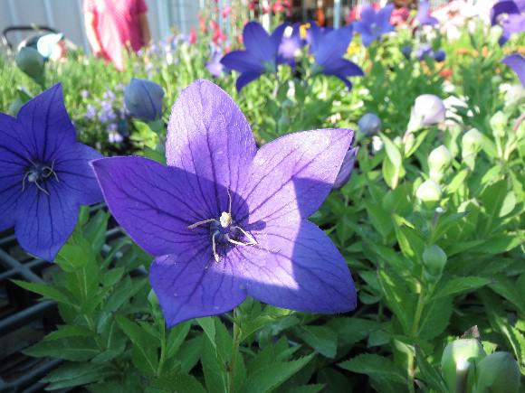 Platycodon grandiflorus F1 Astra Blue – boubelka velkokvětá.