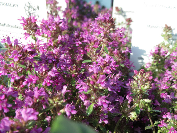 Thymus praecox Red Carpet – mateřídouška.