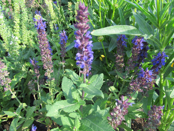 Salvia x superba Bordeau Blue – šalvěj