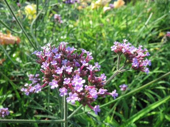 Verbena bonariensis – sporýš