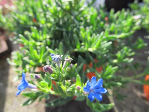 Lithodora diffusa Grace Ward Blue – kamejka.