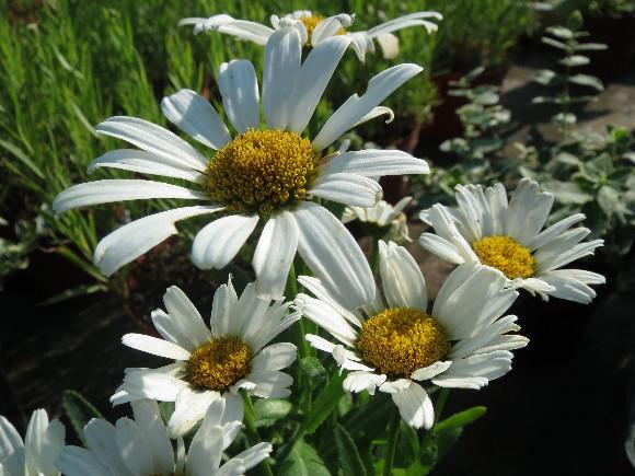 Leucanthemum  maximum F1 Snow Lady – kopretina.