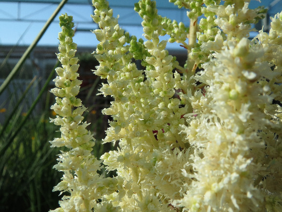 Astilbe x arendsii Diamond and Pearls – čechrava