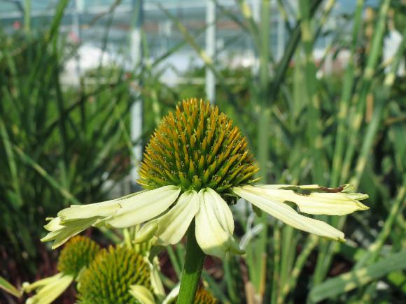 Echinacea purpurea Cleopatra – třapatka