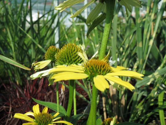 Echinacea purpurea Cleopatra – třapatka.
