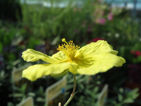 Helianthemum hybridum Golden – devaterník.