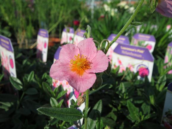 Helianthemum hybridum Lawrensons Pink – devaterník.