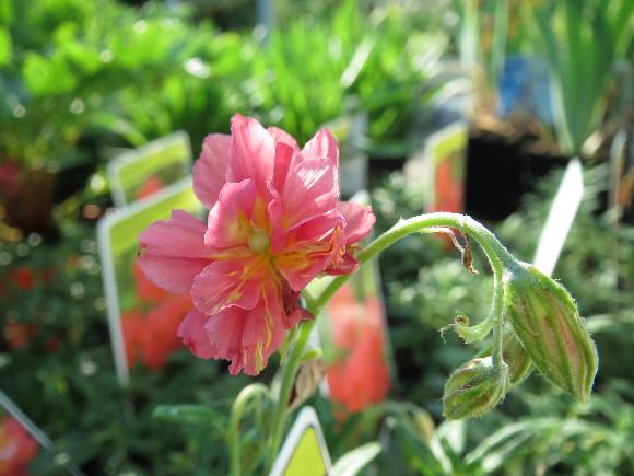 Helianthemum hybridum Cerise Queen – devaterník.
