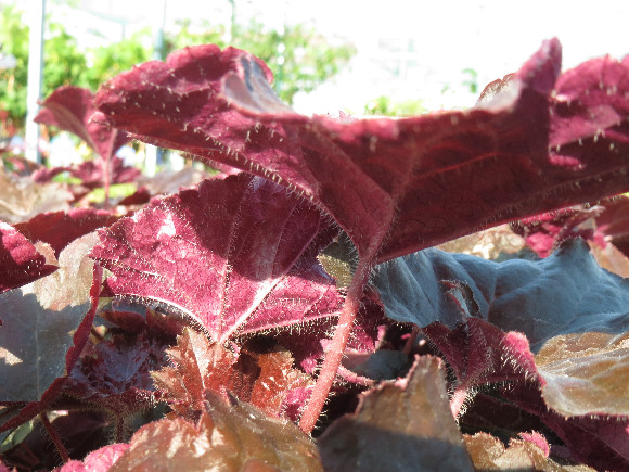 Heuchera hybrida Palace Purple – dlužicha.