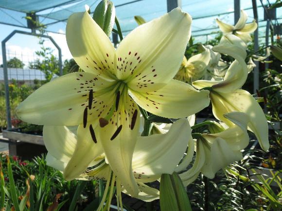 Lilium hybridum Sweet Surrender – lilie