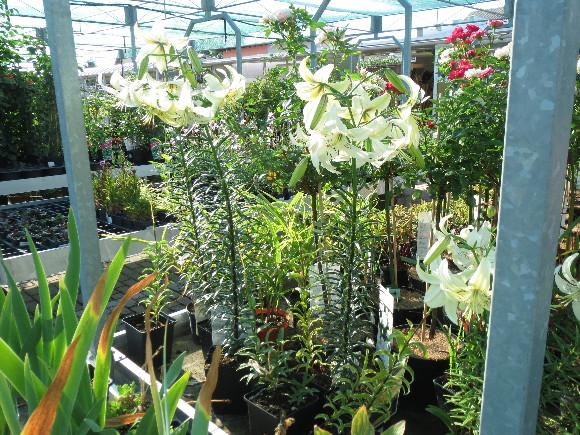 Lilium hybridum Sweet Surrender – lilie.