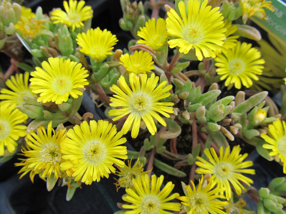 Delosperma x hybrida Wheels of Wonder Golden – kosmatec