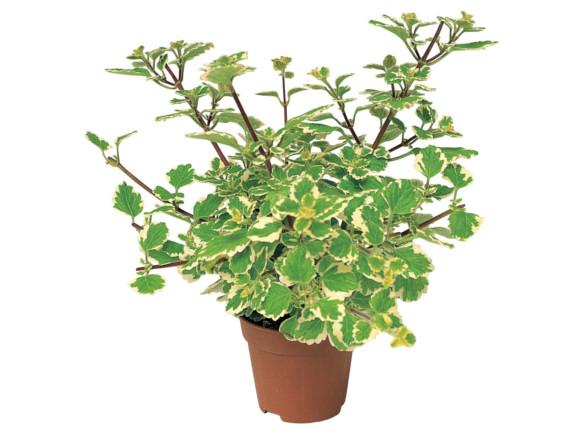 Plectranthus coleoides - molice.