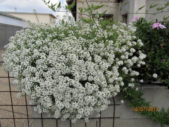 Lobularia hybrida - sněhová lavina.
