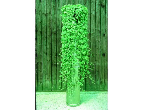 Glechomea hederacea