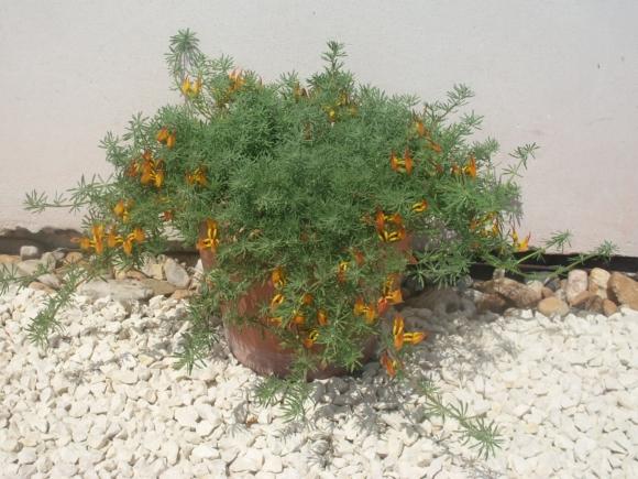 Lotus maculatus - Štírovník