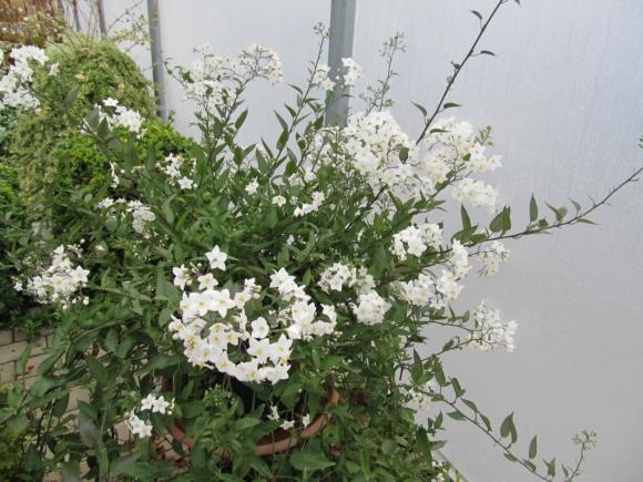 Solanum jasminoides - Jasmínokvětý lilek