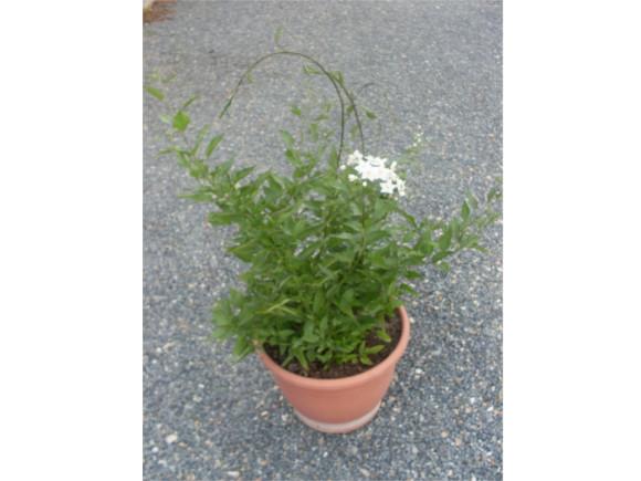 Solanum jasminoides - Jasmínokvětý lilek.