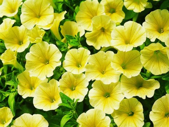 Victorian Yellow.