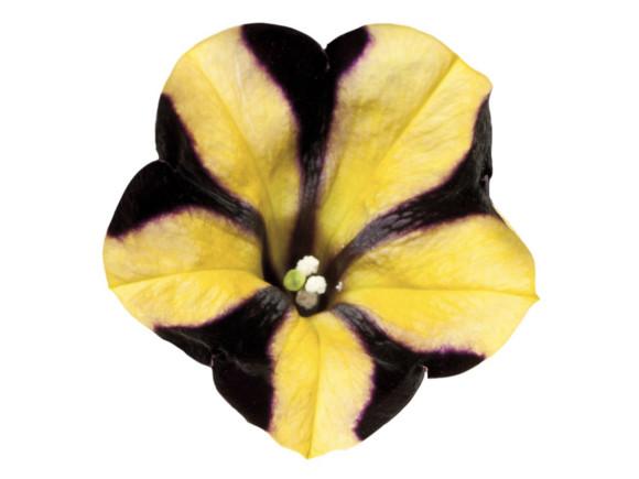 Surfinia hybrida.