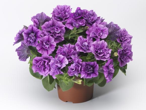 Double Violet Vein.
