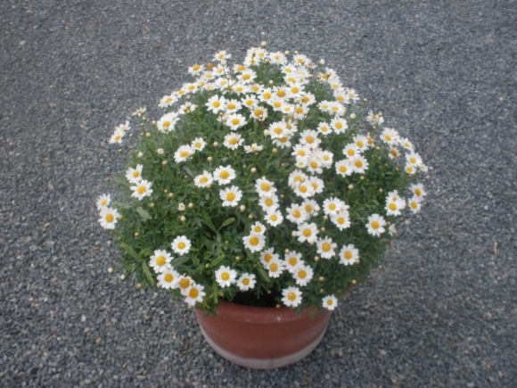 Argyranthemum frutescens - letní kopretina