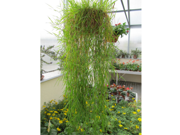 Agrostis stolonifera - Okrasný bambus.
