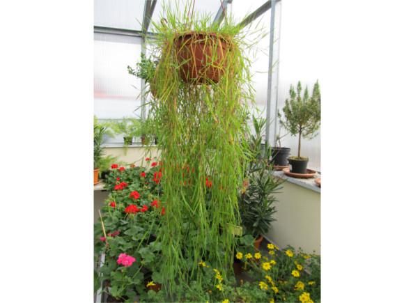 Agrostis stolonifera - Okrasný bambus