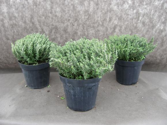 Tymián - Thymus vulgaris.