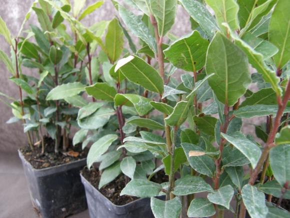 Bobkový list - Laurus nobilis.