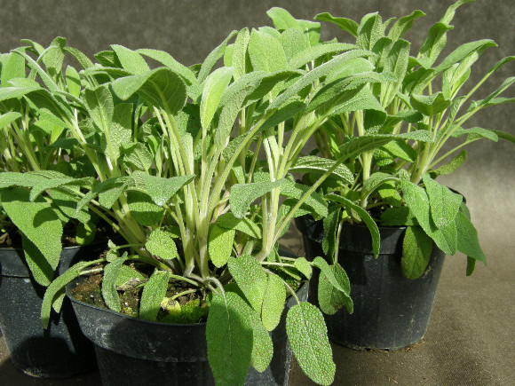 Šalvěj - Salvia officinalis.