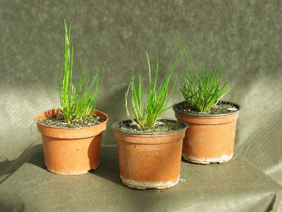 Pažitka pobřežní - Allium shoenoprasum neboli šnitlík