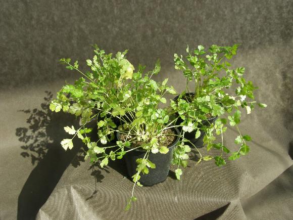 Koriandr - Coriandrum sativum
