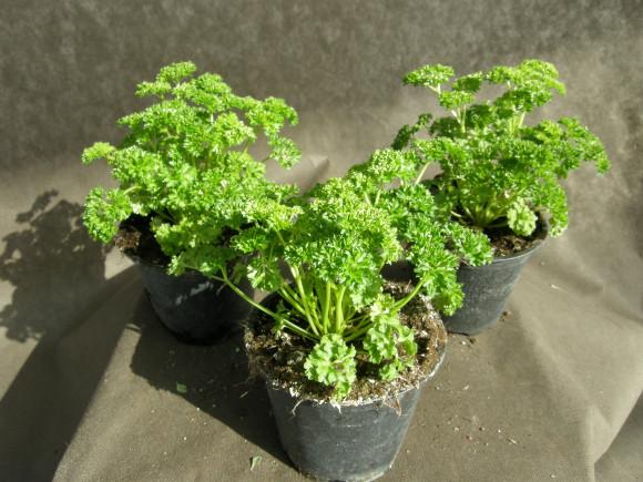 Petržel listová - Petroselium crispum - lidově kudrnka.