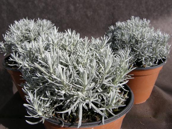 Smil italský - Helicrysum italicum - lidově italské maggi